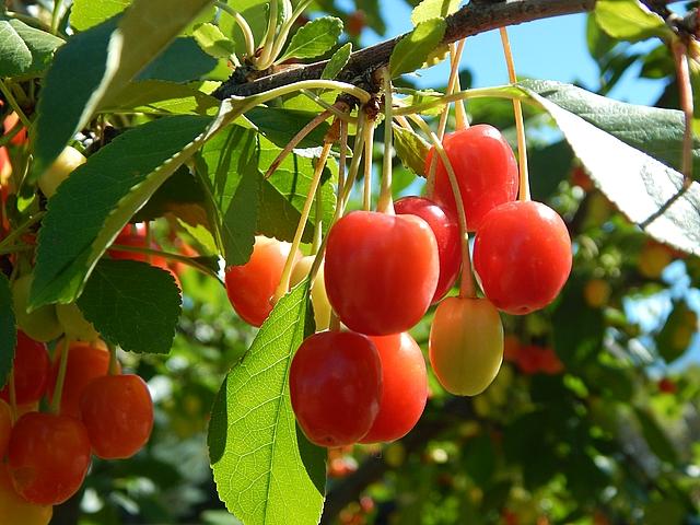 Homegrown cherries