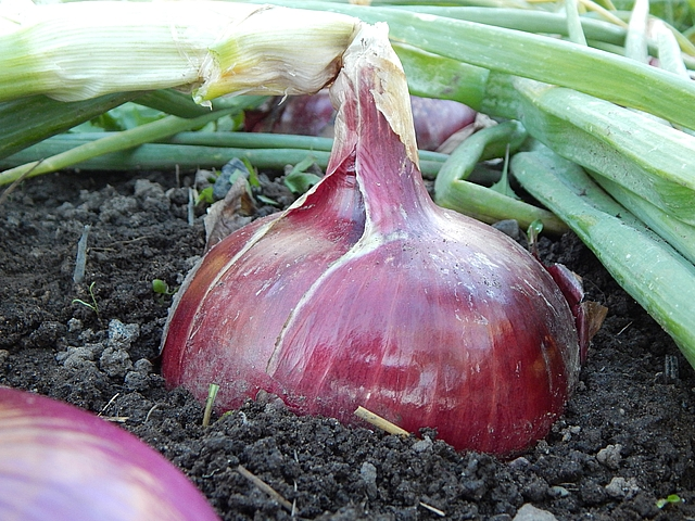 Once you master how to grow and keep onions, onion marmalade and relish take a little effort but store well. Get savory spread recipes at TwiceasTasty.com.