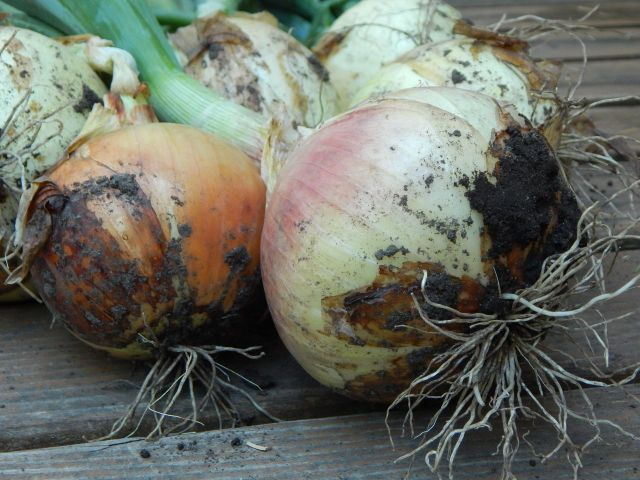 Preserving onions. Get the recipes in The Complete Guide to Pickling by Julie Laing.